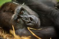 gorilla-mayani-zoo-antwerpen-jonas-verhulst-17092017-15-1